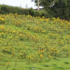 A Field of Ragwort