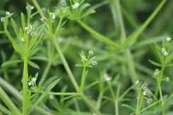 Goose Grass / Robin Run The Hedge